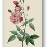 Rosa Centifolia Bullata, Pierre-Joseph Redouté, Paryż ok. 1817-24, źródło foto: zbiory prywatne Ewy Małek