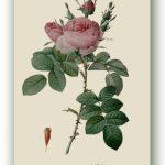 Rosa Bifera Officionalis, Pierre-Joseph Redouté, Paryż ok. 1817-24, źródło foto: zbiory prywatne Ewy Małek