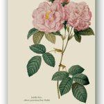 Rosa Pomponia, Pierre-Joseph Redouté, Paryż ok. 1817-24, źródło foto: zbiory prywatne Ewy Małek