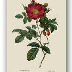 Rosa Damascena, Pierre-Joseph Redouté, Paryż ok. 1817-24, źródło foto: zbiory prywatne Ewy Małek