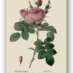 Rosa Indica Vulgaris, Pierre-Joseph Redouté, Paryż ok. 1817-24, źródło foto: zbiory prywatne Ewy Małek